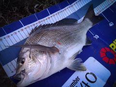 Another Onka bream 40cm