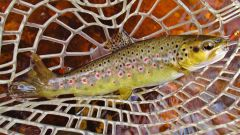 Lovely colour in this wild brown trout