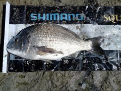 Small bream