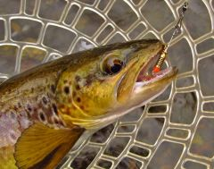 Close up of brown trout..