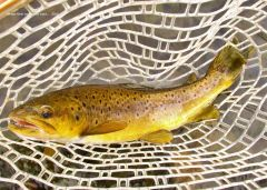 Great colours, Mersey River wild brown trout.. (18 4 16)