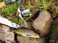 Brown trout & New reel.