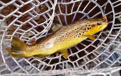 Another beautiful wild brown trout..