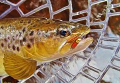 Mepps aglia spinner & brown trout..