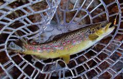 Red spots stand out on this wild brown trout..