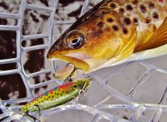 Brown trout & rainbow Rapala.
