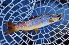 Wild brown trout..