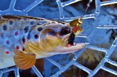 Brown trout falls The The Aglia Mouche Noire.