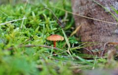 Small brown capped fungi