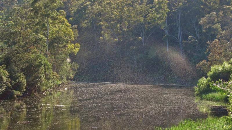 Massive Summer dun hatch, Mersey River. Weegena (Medium).JPG