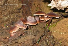 Small brown toadstools at Kimberley..