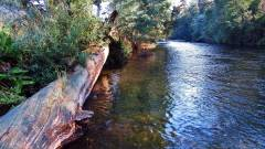 Meander River, trout caught next to log..