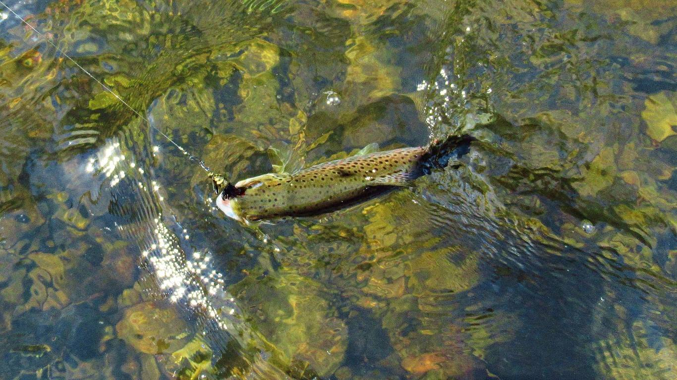 Trout number three takes the Aglia Mouche Noire. (Medium).JPG