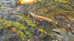 Mersey River wild brown trout taken on Black Fury. (Medium).JPG