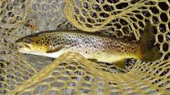 Solid brown trout taken on a March Brown Bug. (Medium).JPG