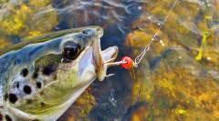 Mepps & wild brown trout. (Medium).JPG