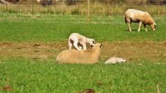 Lamb having fun.. (Medium).JPG