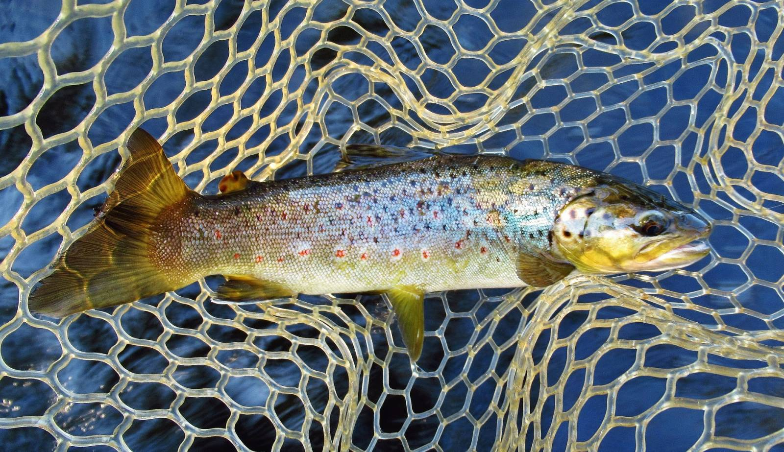 One lovely wild brown trout..JPG