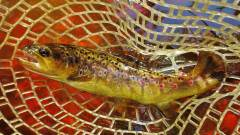 Beautifully coloured tannin water brown trout.JPG