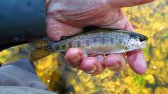 This is one small rainbow trout..JPG
