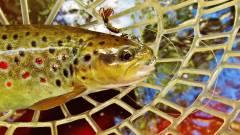 Beautiful brown trout.JPG
