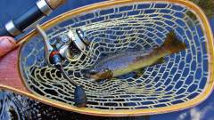 Another trout is in the net..JPG