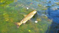 This was the trout of the day..JPG