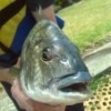 West Lakes mulloway on soft plastic - last post by Kylebream
